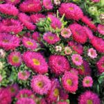 aster roze visoki