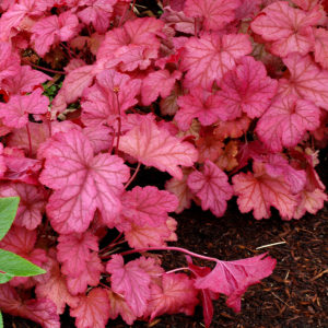 heuchera berry smoothy