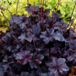 heuchera obsidian