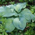 hosta sieboldiana-Elegans
