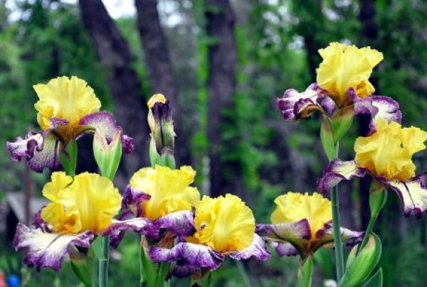 iris dvobojan