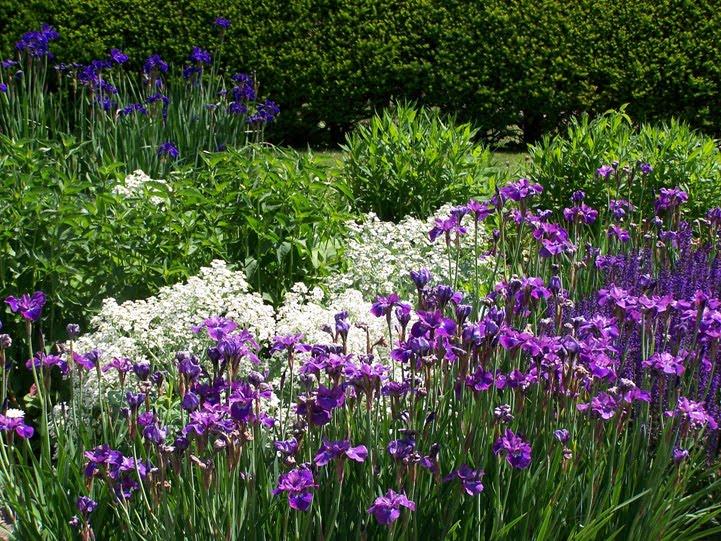 iris - perunika u vrtu