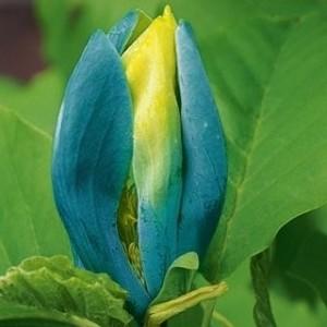 magnolia-blue-opal