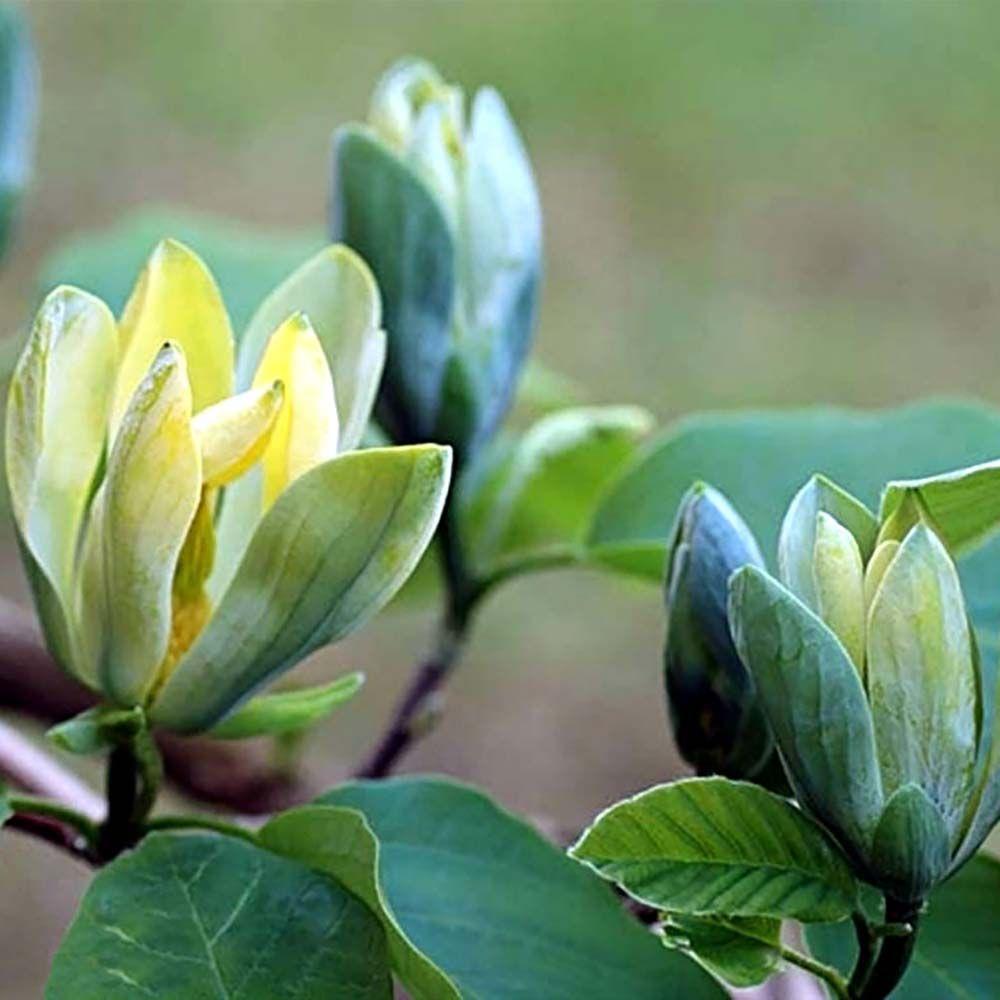 magnolia-blue-opal1