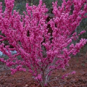 judino drvo1