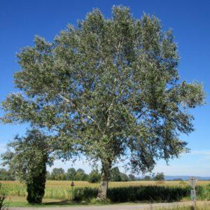 populus alba bela topola