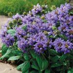 prunela grandiflora ljubičasta