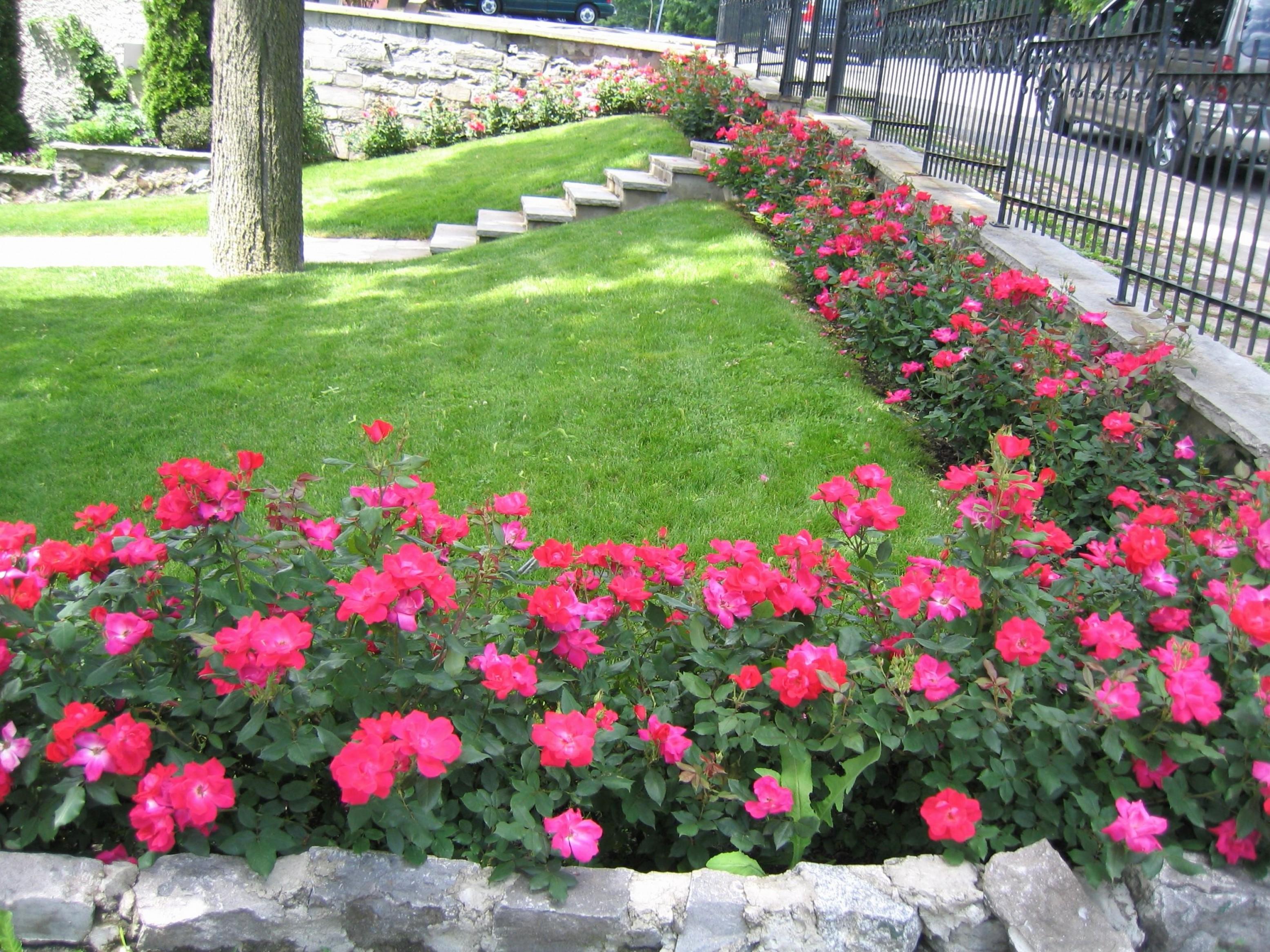 ruže-mnogocvetnice-ideja1