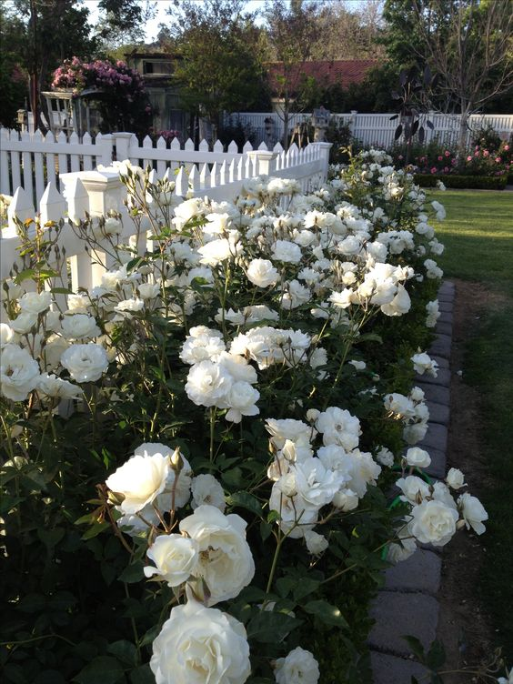 ruže-mnogocvetnice-ideja3