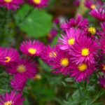aster september
