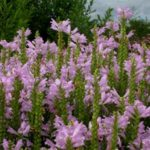 phyzostegia virginiana roze