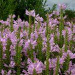 phyzostegia virginiana roze