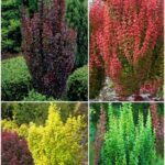 berberis rocket mix