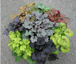 heuchera mix