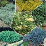 juniperusi mix