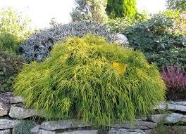 chamaecyparis pisifera sungold