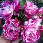 renesansa ruza