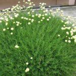santolina zelena