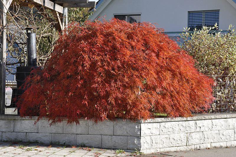 acer palmatum ornatum1
