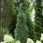 chamaecyparis lawsoniana columnaris