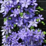 clematis cholmondeley