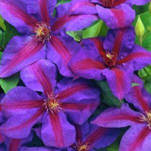 clematis mrs thompson