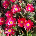 delosperma red garnet