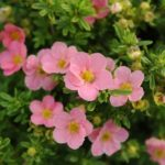 potentila fruticosa lovely pink