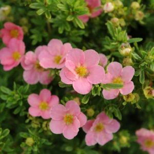 potentila fruticosa lovely pink