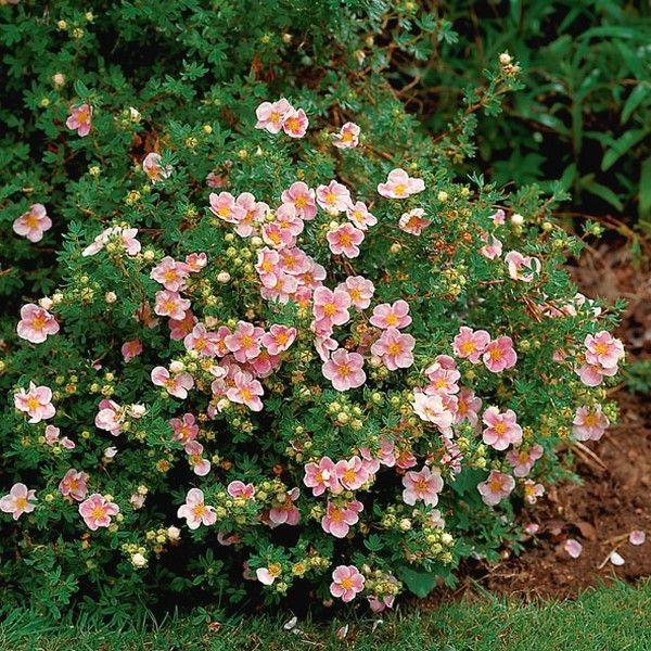 potentila fruticosa lovely pink1