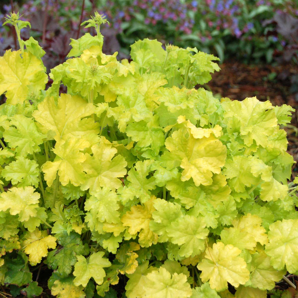 heuchera lime rickey1