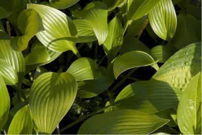 hosta clausa green1