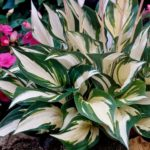 hosta fire and ice1