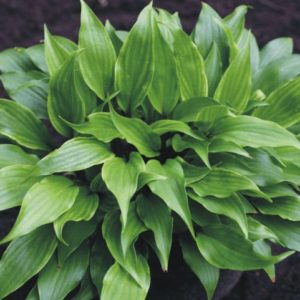 hosta little red joy