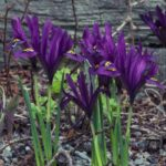 iris reticulata