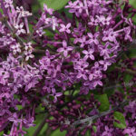 syringa dark purple