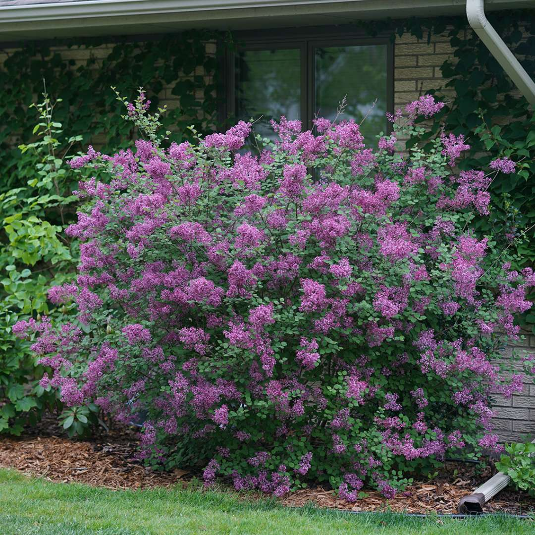 syringa dark purple1