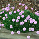armeria pink petite