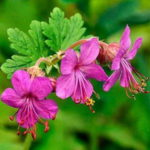 geranium - zdravac