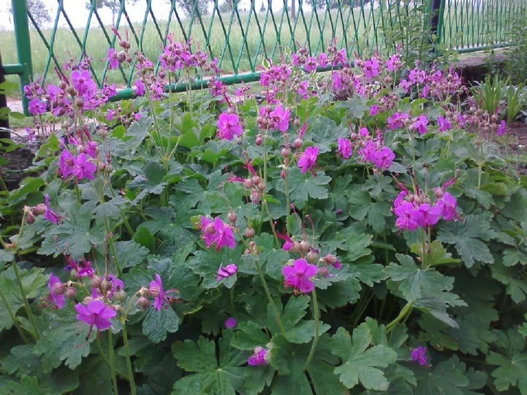 geranium - zdravac1