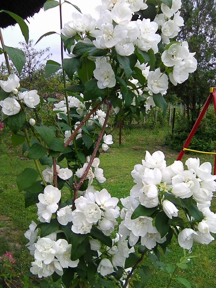 jasmin u vrtu1