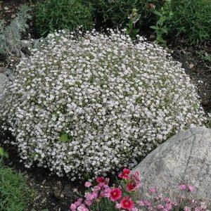 gipsofila paniculata