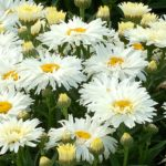 leucanthemum x superbum