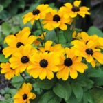 rudbeckia toto