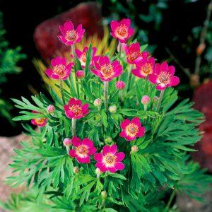 anemona anabella rubra
