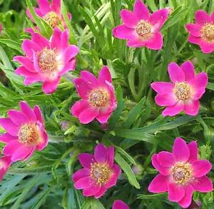 anemona anabela rubra1