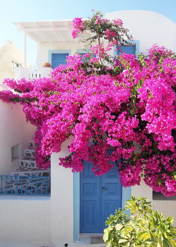 bungevilija roze1