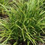 carex morrowi