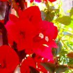 bungevilija - bogumila crvena