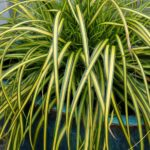 carex oshimensis eversheen